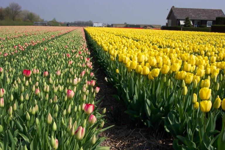 champ-tulip